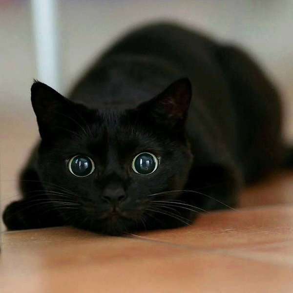 black cat with enlarged pupils