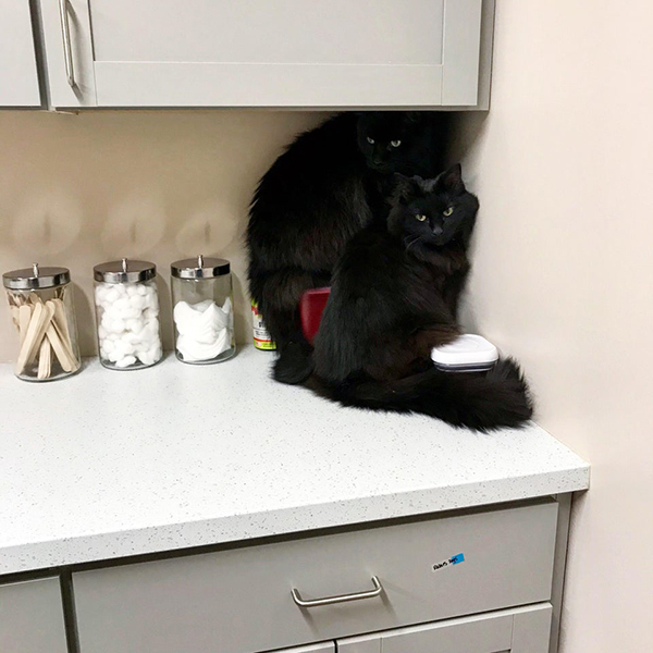 black cats being dramatic at the vet
