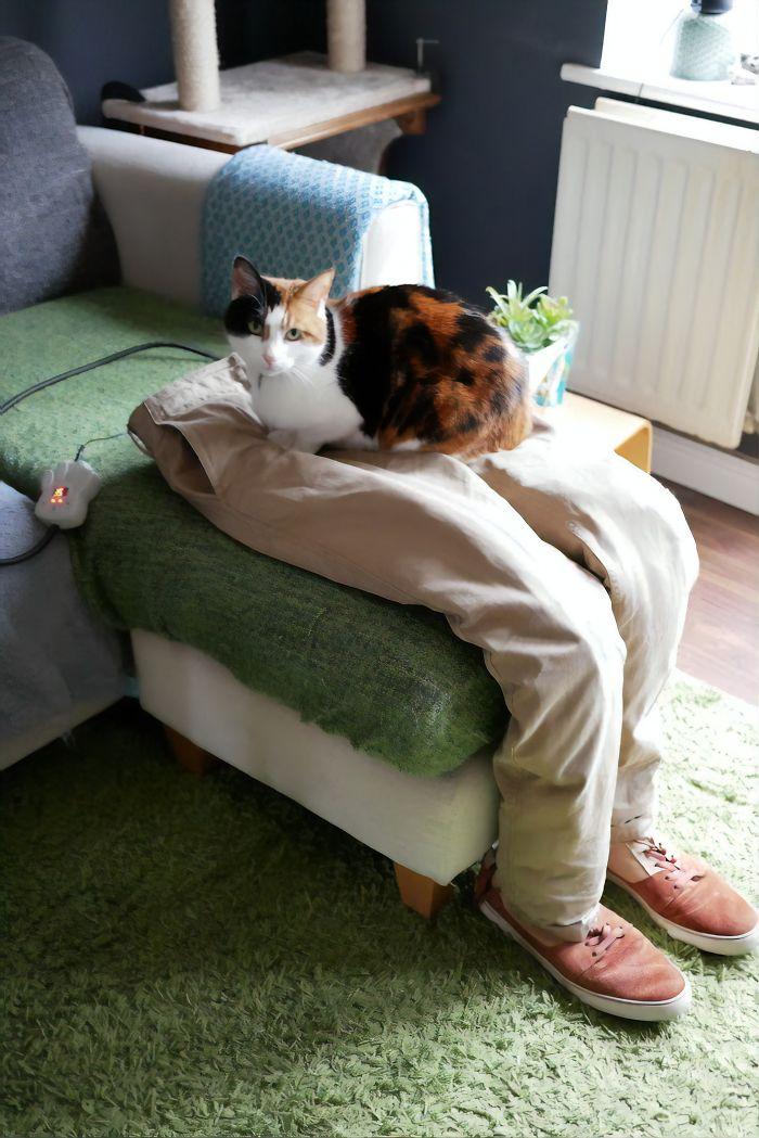 cat loves to sit on fake human laps