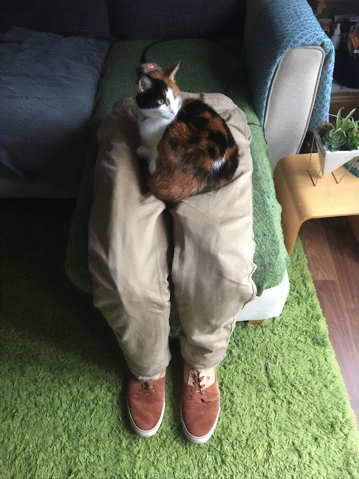 cat sitting on fake human laps
