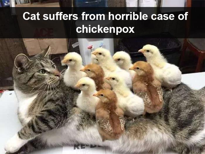 cat suffers from chickenpox