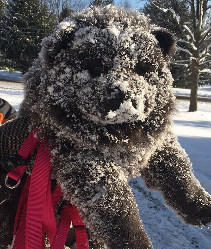 cute chow chow pooch winter