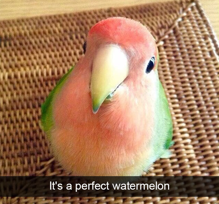 feathered watermelon