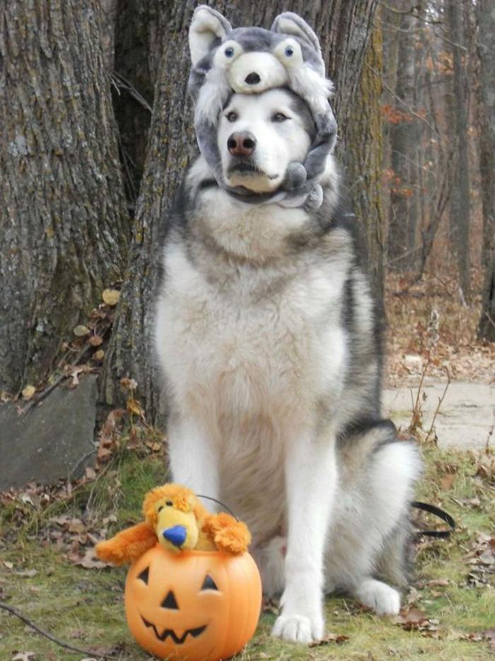 fluffy dog dressed for halloween