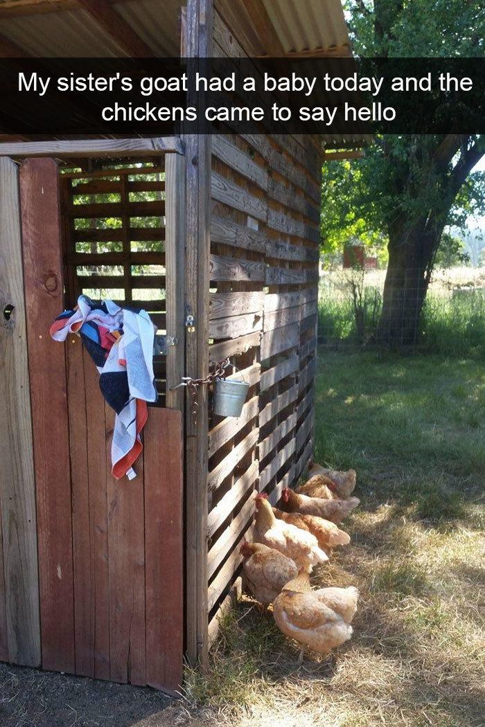 funny bird snapchats chickens visit newborn goat