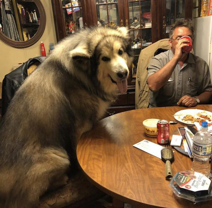 giant fluffy dog at the dinner table