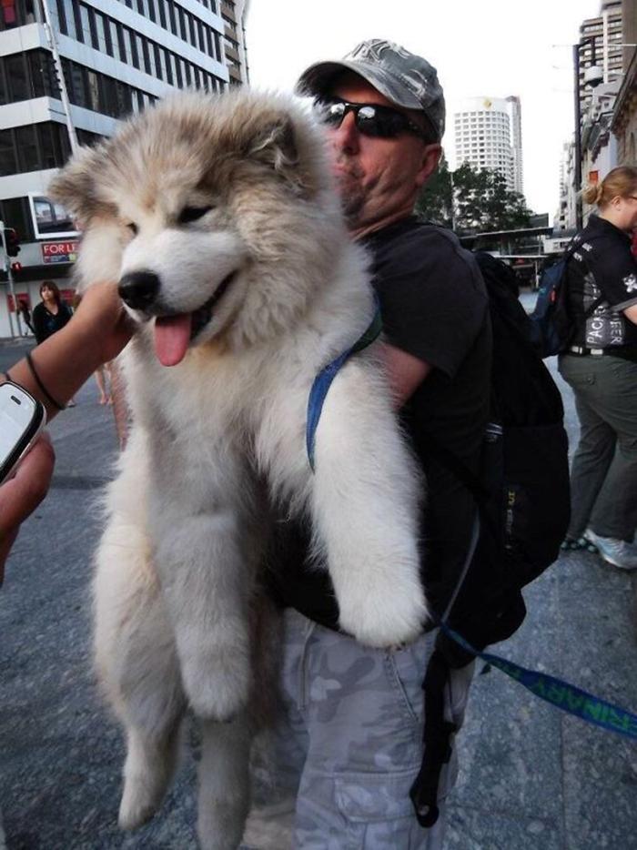 giant fluffy puppy looks like a teddy bear