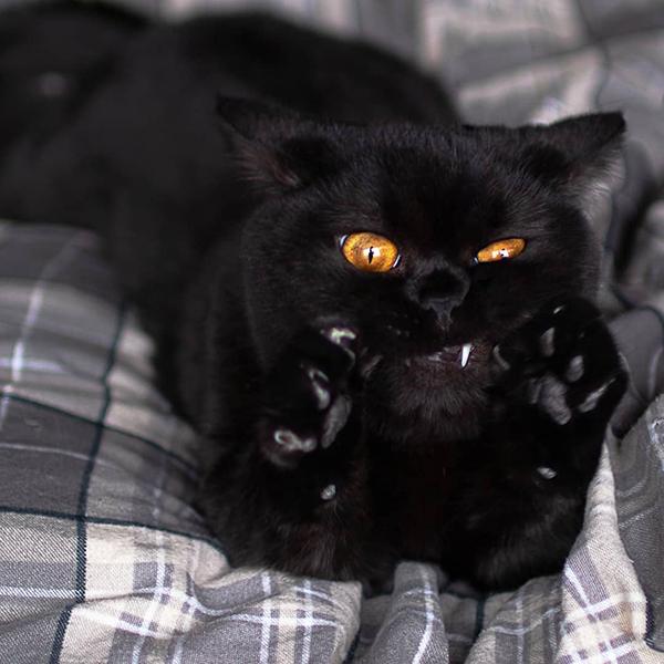 golden eyed black eye pulls a wacky face