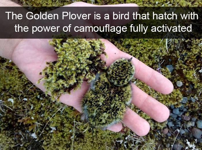 golden plover camouflage