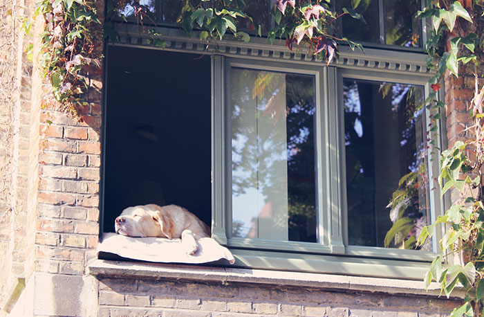 greenanorak shares yellow lab in bruges photo