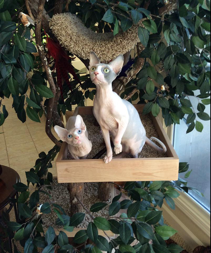 hairless cats indoor pet treenouses