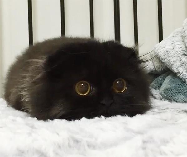 large-eyed gimo the black cat