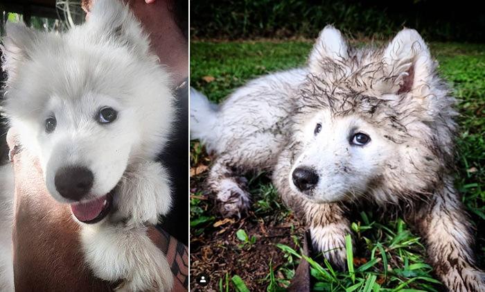 muddy dogs samoyed sisters