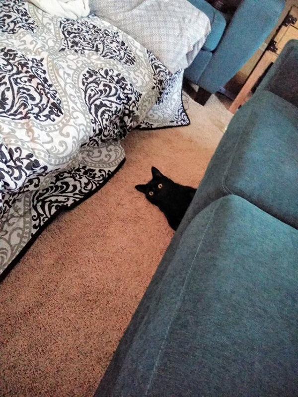 obsidian the black cat pops out from under the couch