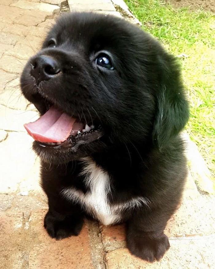 pekingese labrador mix