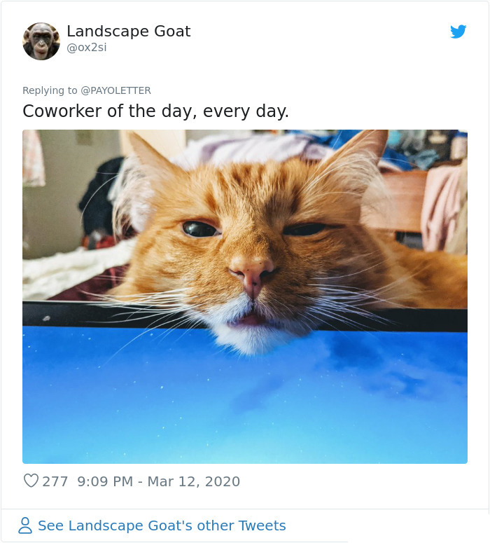 pets coworker quarantine cat over laptop screen