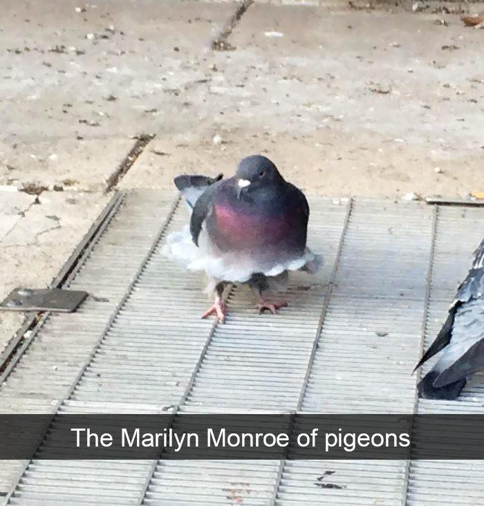 pigeon marilyn monroe