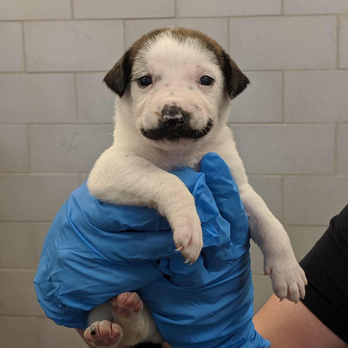 puppy with a handlebar mustache