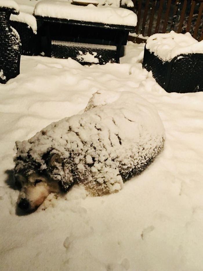 sled dog enjoys the snow