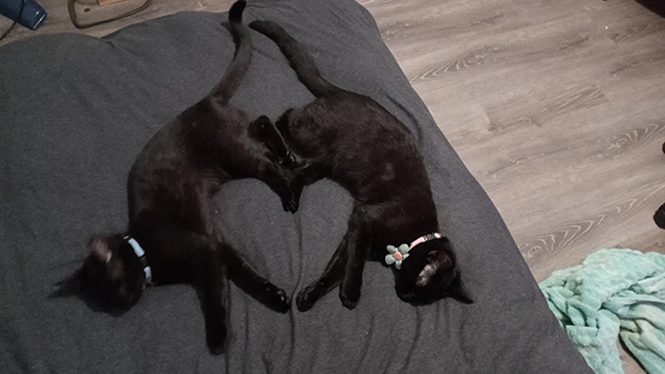 sleeping black cats forming a heart shape