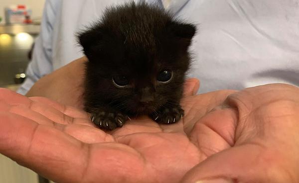 teeny tiny black kitten