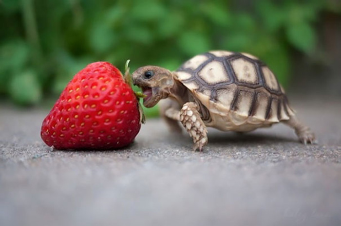tiny tortoise bites strawberry