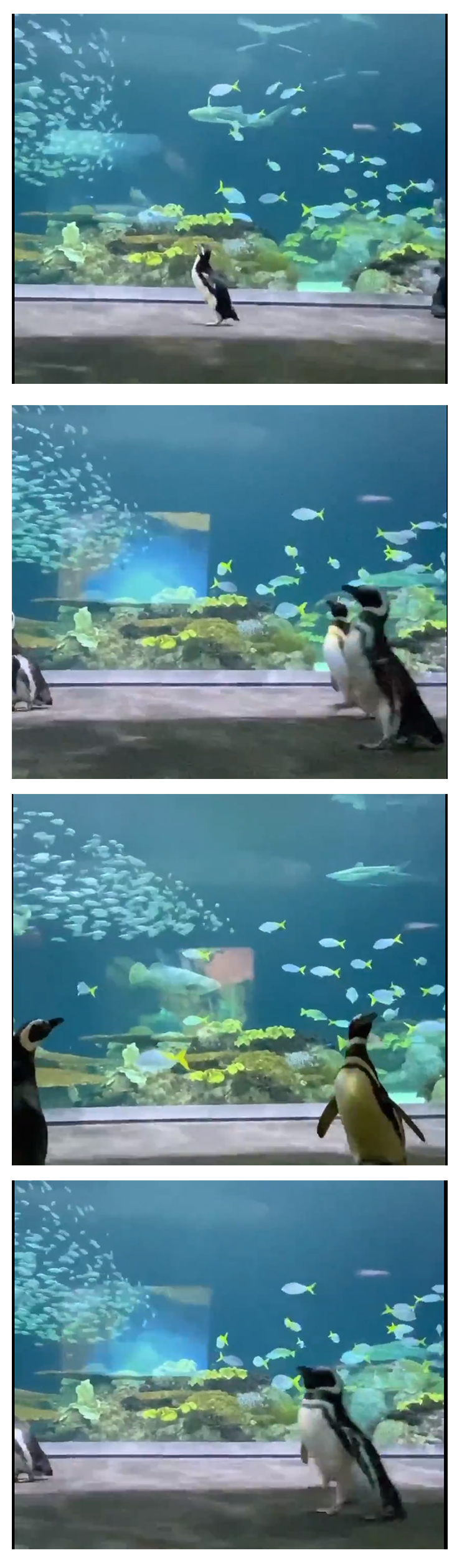 wellington leads a group of penguins through the aquarium premises