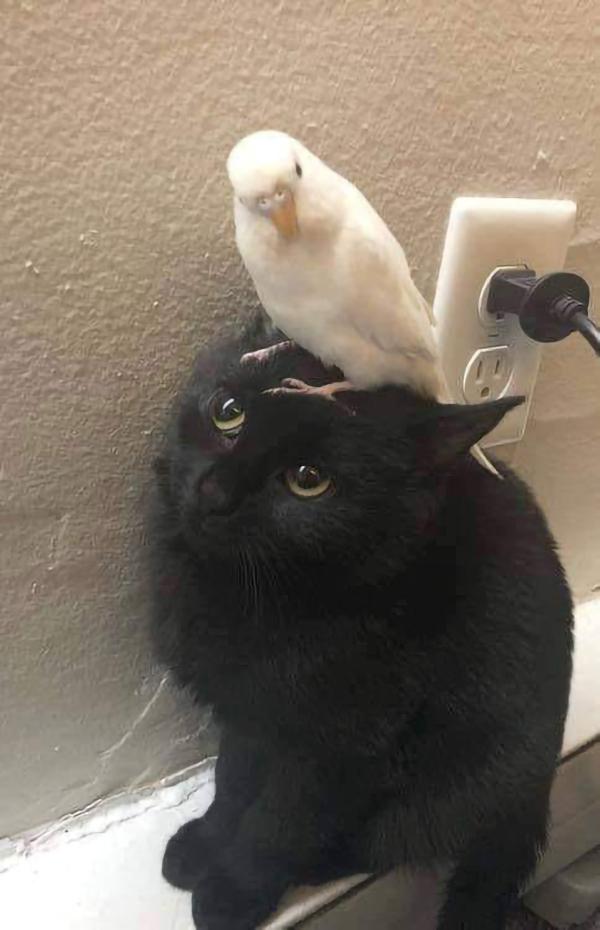 white bird on black cat