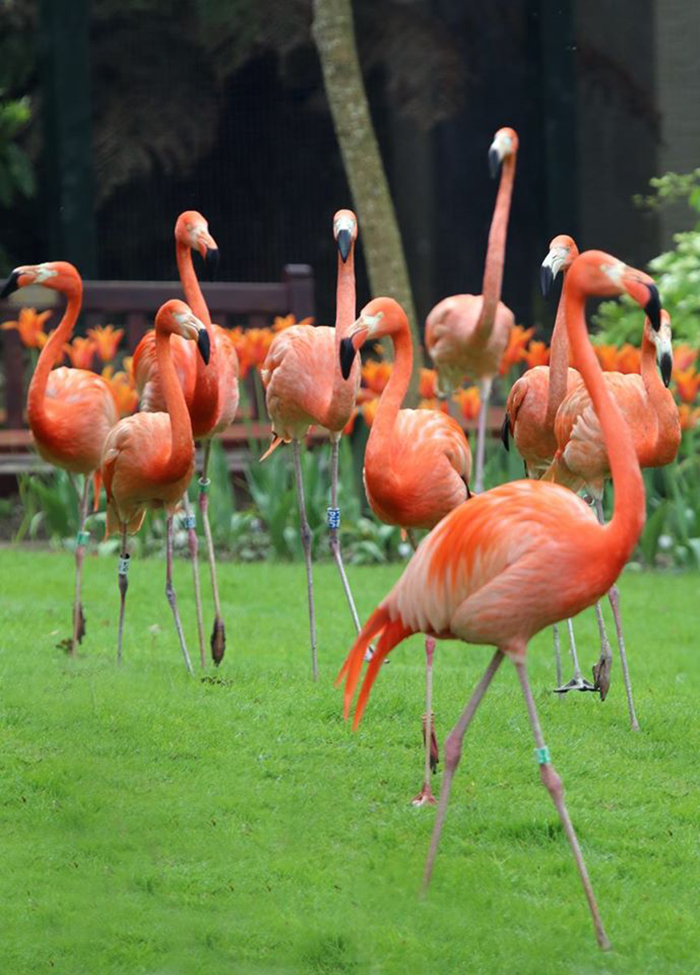Flamingos at Paradise Park where Zookeepers Self-isolate