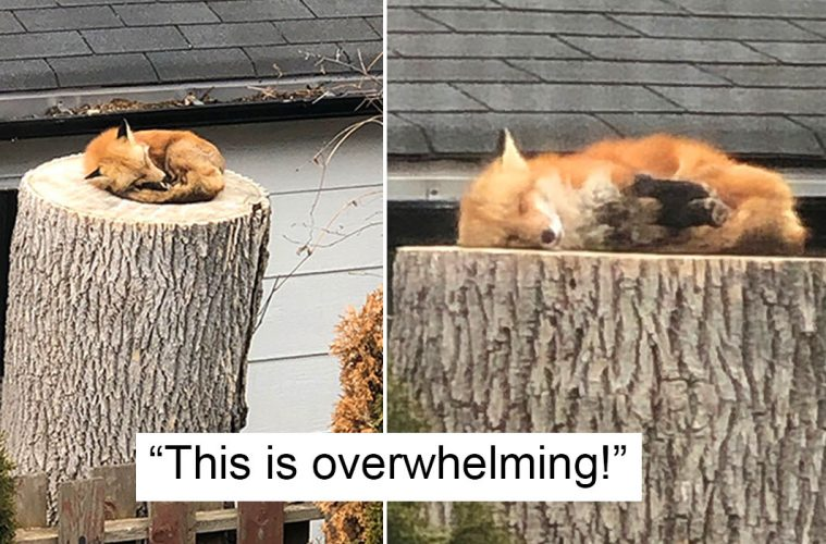 Fox Sleeping On A Tree Stump