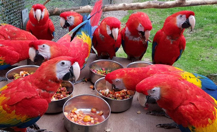 Parrots at Paradise Park where Zookeepers Self-isolate