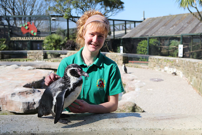 Penguin at Paradise Park where Zookeepers Self-isolate