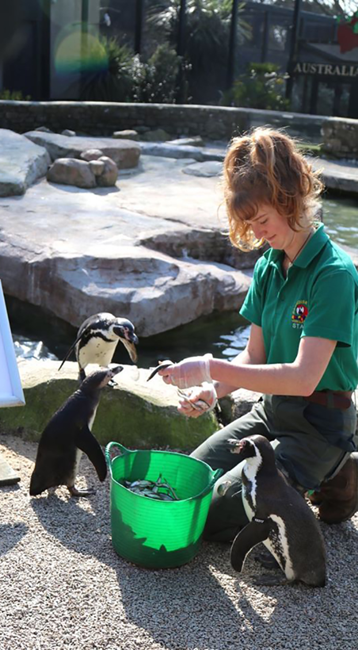 Penguins at Paradise Park where Zookeepers Self-isolate to Take Care of Animals