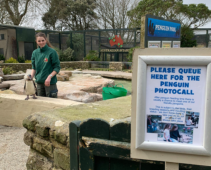 Penguins at Paradise Park where Zookeepers Self-isolate