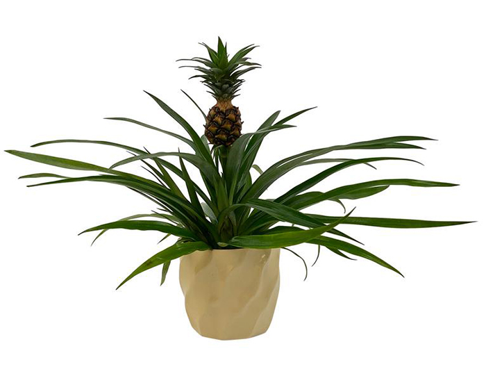 Pure Beauty Farms Pineapple Plant in a Pot