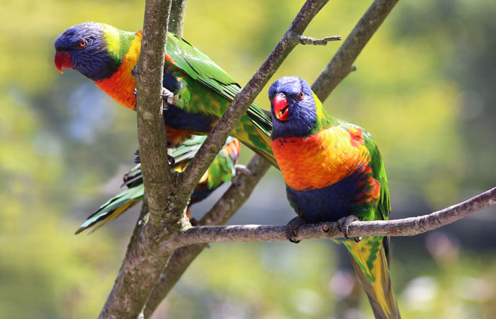 Rainbow Lorikeets at Paradise Park where Zookeepers Self-isolate