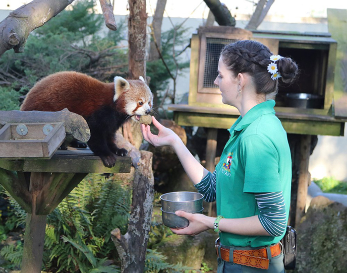 Red Panda at Paradise Park where Zookeepers Self-isolate to Take Care of Animals