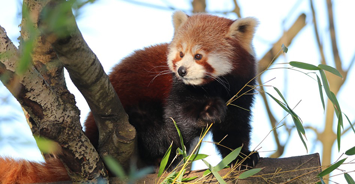 Red Panda at Paradise Park where Zookeepers Self-isolate