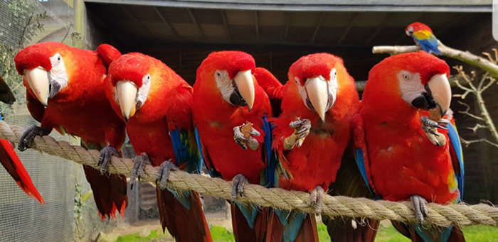 Scarlet Macaws at Paradise Park where Zookeepers Self-isolate