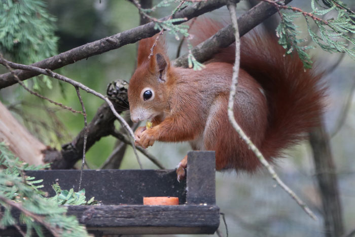 Squirrel at Paradise Park where Zookeepers Self-isolate