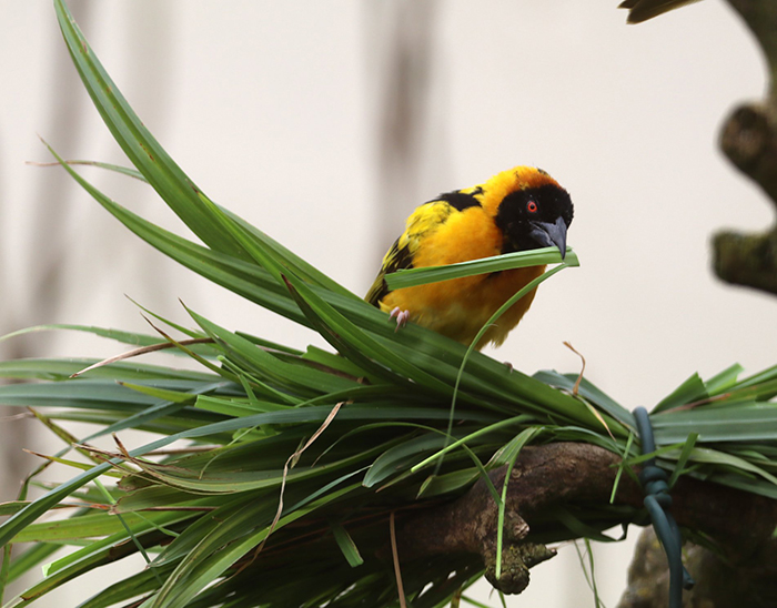 Yellow Bird at Paradise Park where Zookeepers Self-isolate