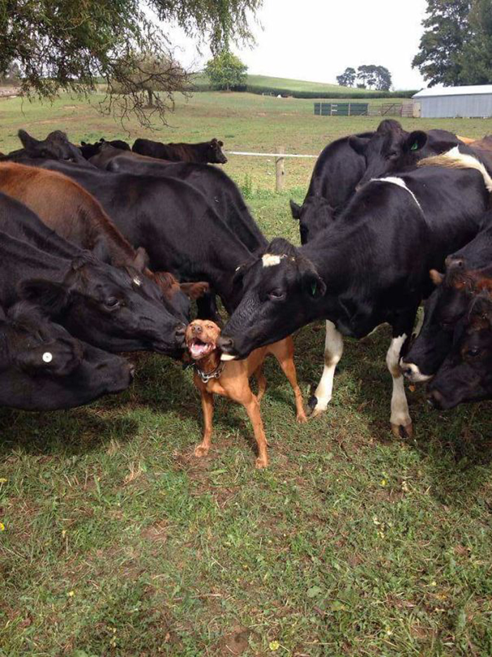 adorable cows love dogs