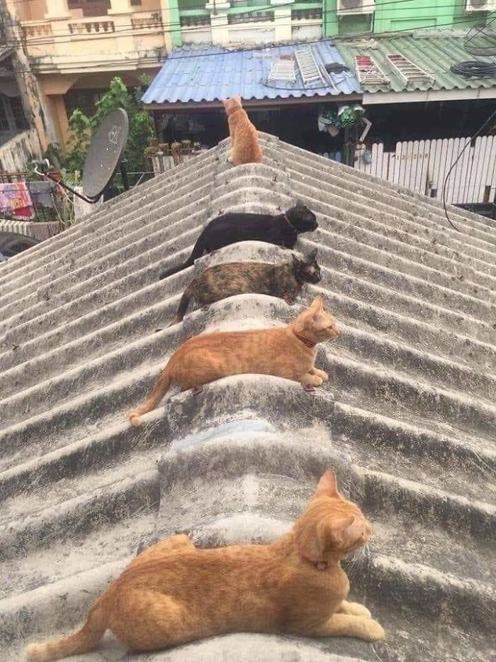 animals doing social distancing cats on roof