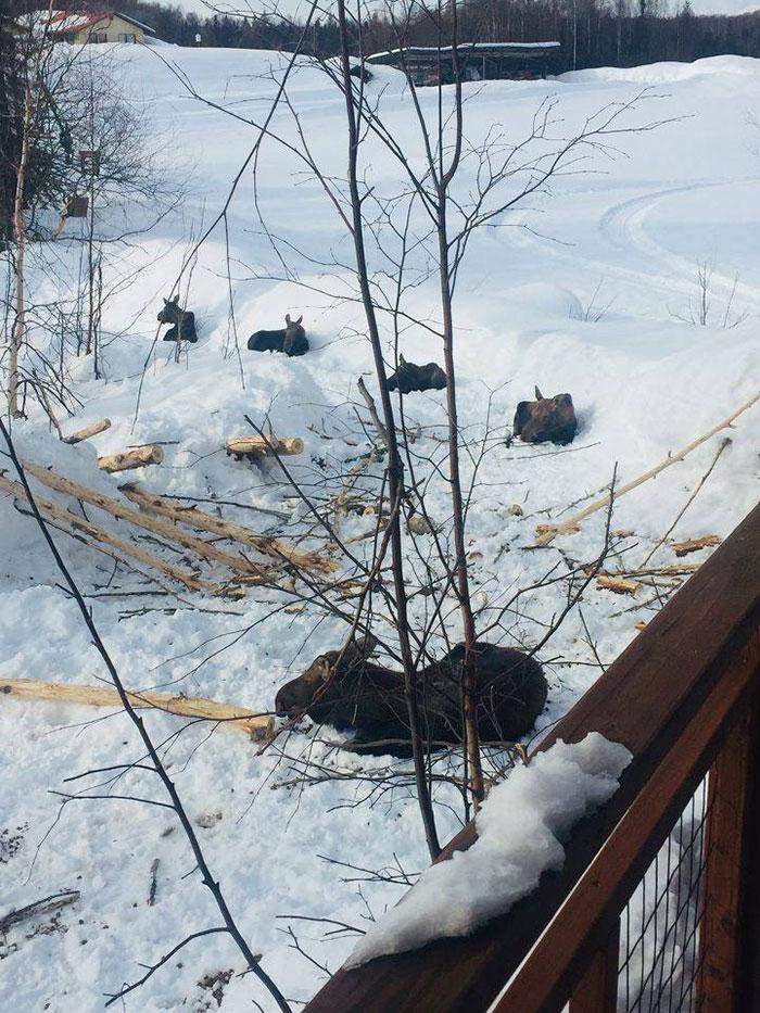 animals doing social distancing moose