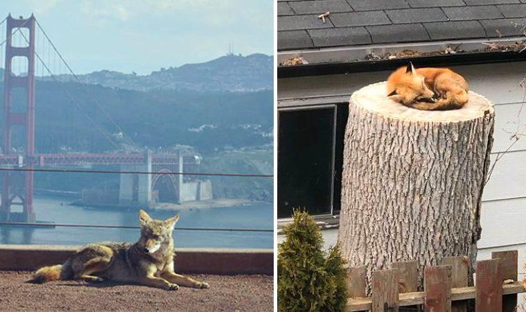 animals invade cities