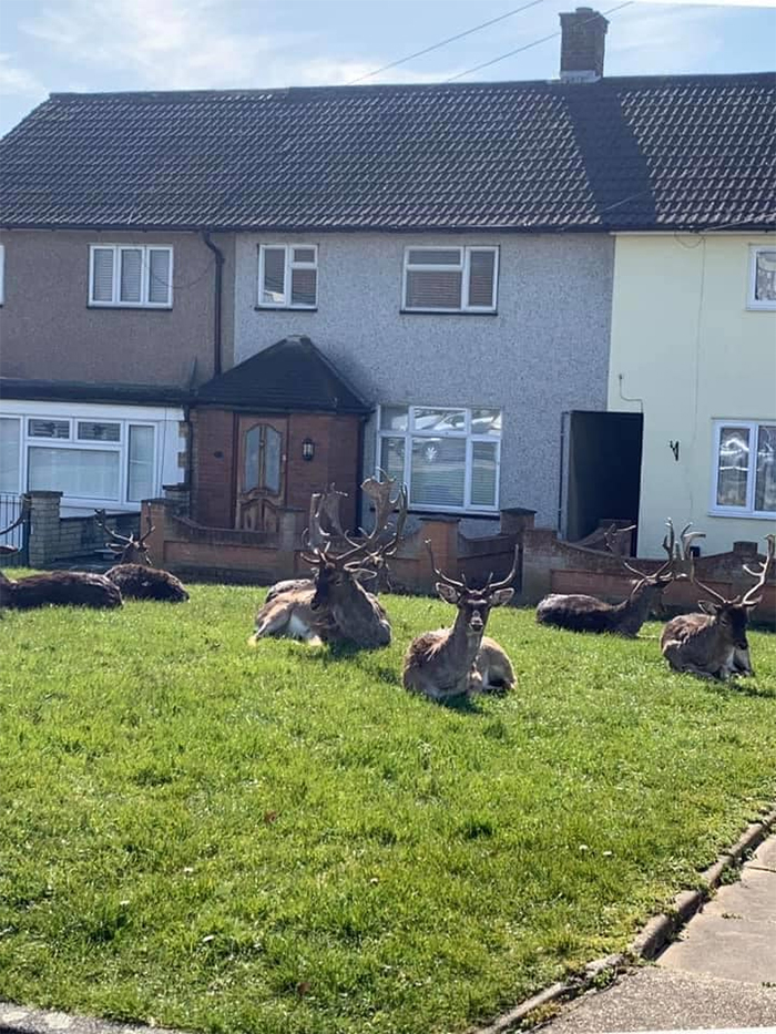 animals invade cities deer lawn