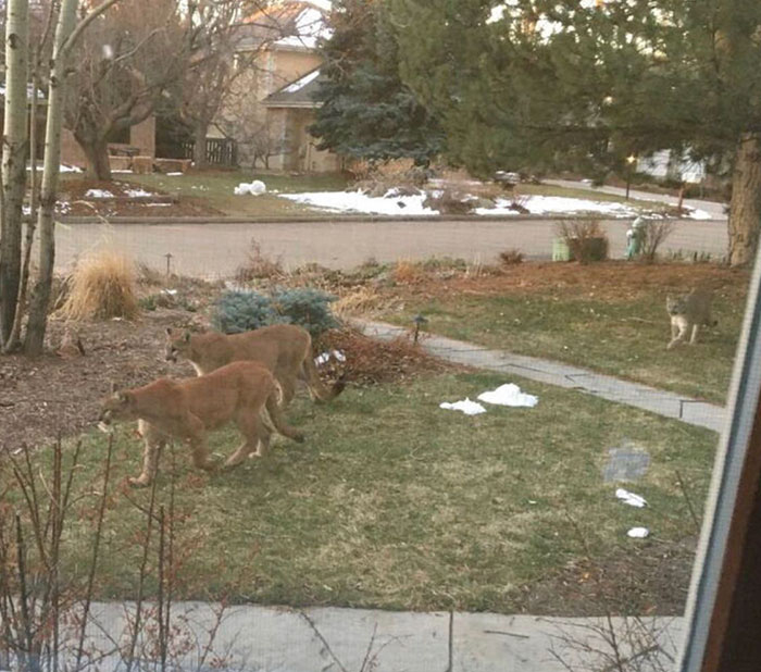 animals invade cities mountain lions