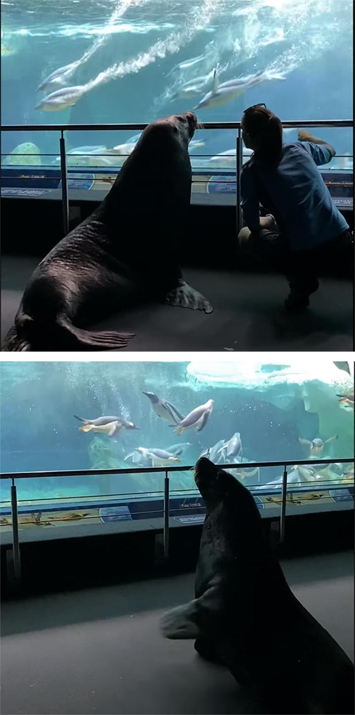 birri junior the sea lion watches penguin swim