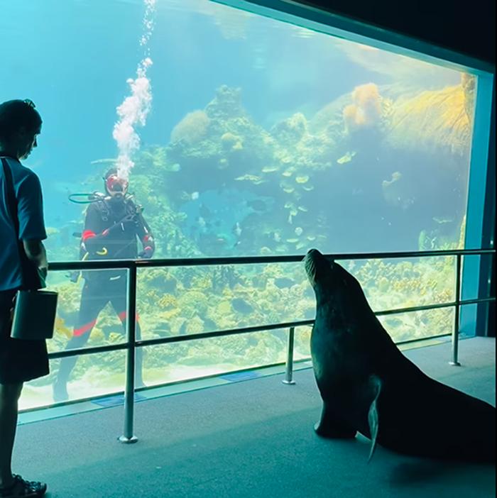 birri the sea lion sees a diver in the shark bay tank