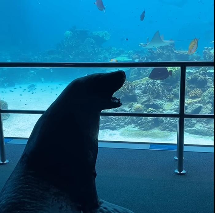 birri the sea lion watches fish swim in sea world's shark bay tank